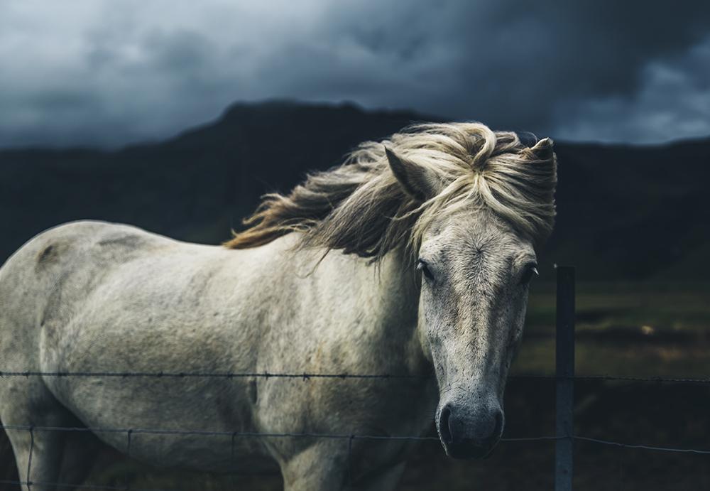 horse white icelandic