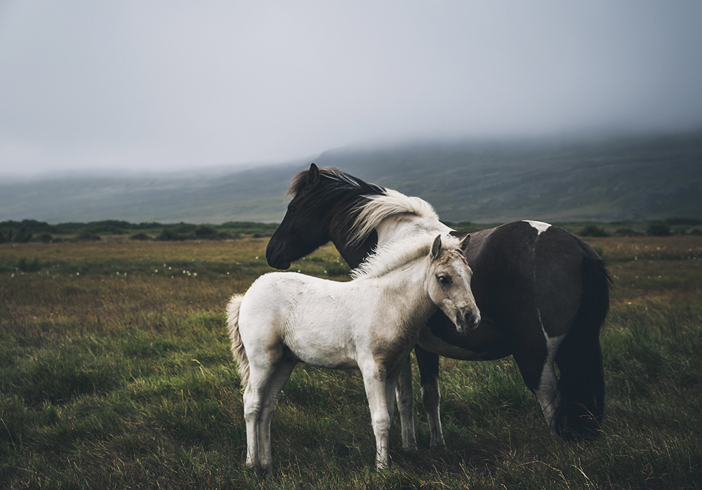 horses family iceland
